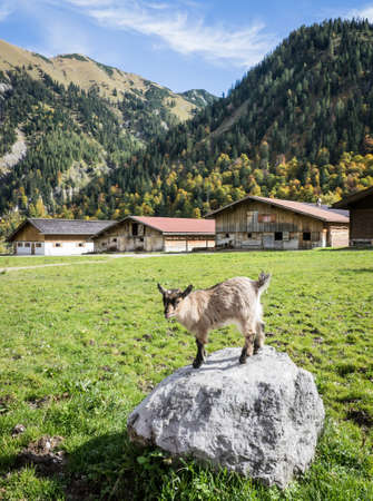 kid goat at a valley in austria - karwendel Stock Photo - 17079611