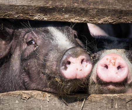 piglets: piglets at a farm