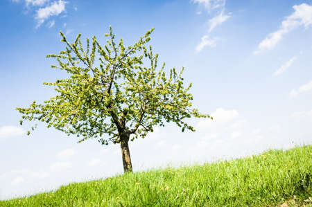 apple tree at  a meadow photo