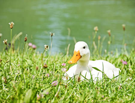 color image mallard duck: white duck at a meadow