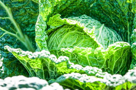 savoy cabbage: savoy cabbage at a field Stock Photo