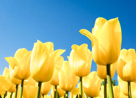 flowerbed: beautiful yellow tulips at a flowerbed - tulipa
