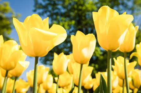 massif de fleurs: belles tulipes jaunes sur un parterre de fleurs - Tulipa Banque d'images