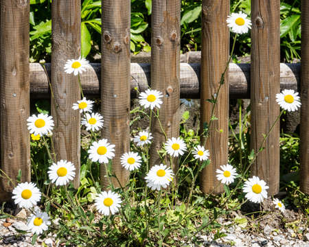 daisys: daisys at a fence - photo - Bellis perennis