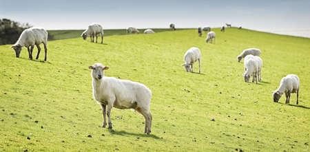 sheep at a dyke in friesland photo
