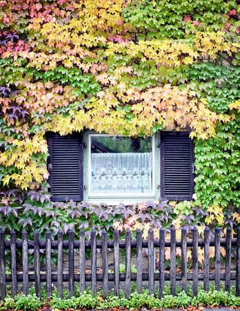 beautiful ivy at an ol facade photo