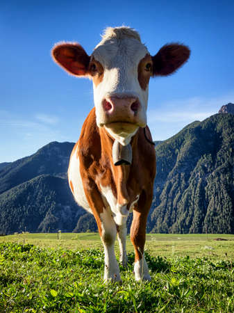 cow at the european alps photo