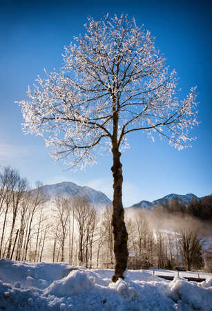 tree in winter in front of blue sky photo