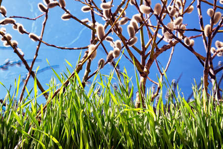 willow catkins in front of blue sky photo