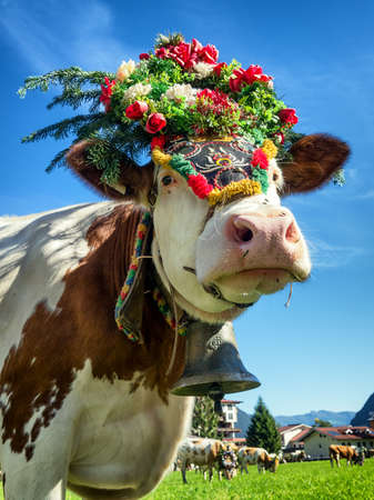 cows at a almabtrieb in pertisau - austria 免版税图像