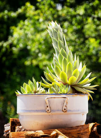 potted plant cactus: cactus at a backyard Stock Photo