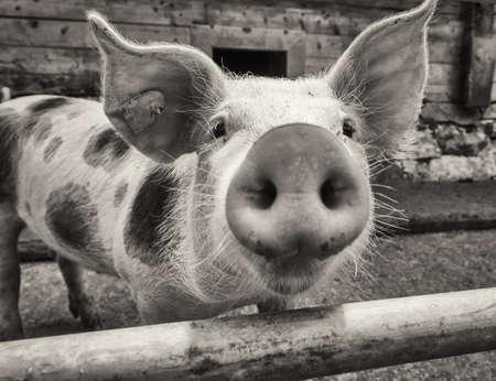 piglet at a farm - closeup