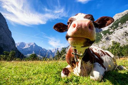 vaca: vacas en las montañas de Karwendel en austria Foto de archivo