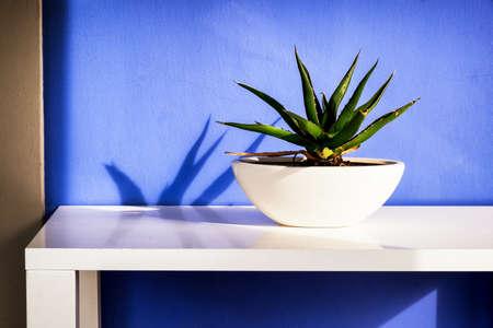 agave: agave (Agavoideae) on a table