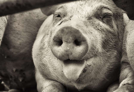 black and white image: piglet at a farm - closeup