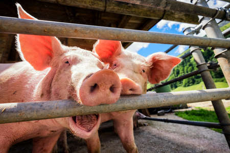 looking through an object: piglet at a farm - closeup