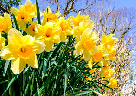 group of Daffodils - Narcissus