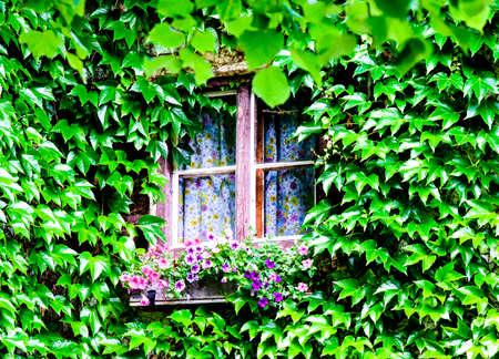 beautiful ivy at an old facade