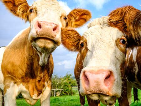 beautiful cows at a farm near vienna Stok Fotoğraf