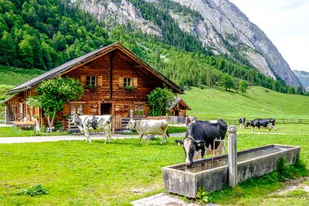 cows at the karwendel mountains