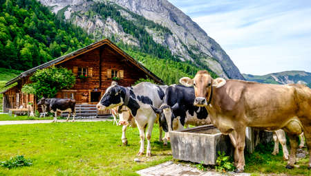 cows at the karwendel mountains