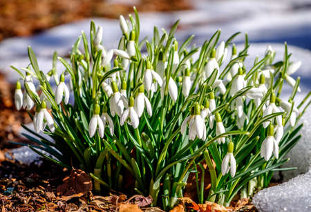 in full bloom: close-up of beautiful snowdrops - Galanthus Stock Photo
