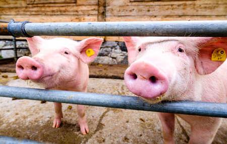 curios: Beautiful piglets at a farm