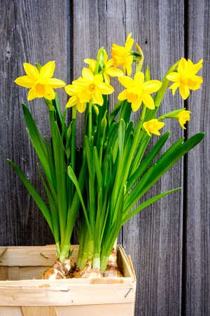 lit image: group of Daffodils - Narcissus