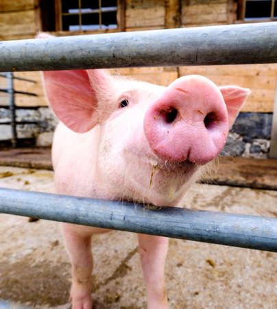 beautiful piglets at a farm Stock Photo - 81994464