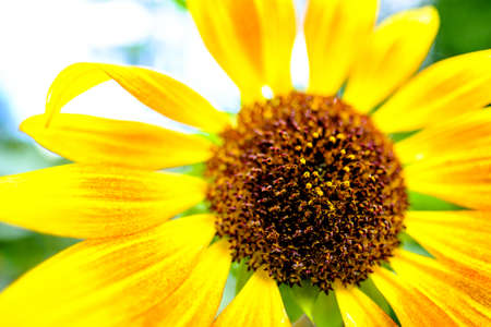 beautiful sunflower - backlit - closeup photo 免版税图像