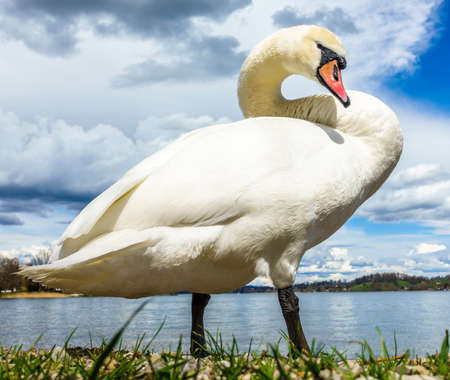 white mute swan at the tegernsee lake in germany 免版税图像