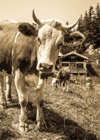 funny cow at the spitzingsee lake - bavaria 免版税图像