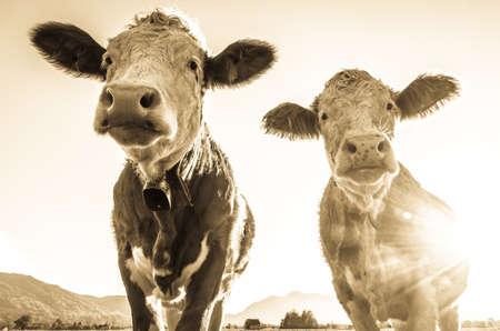 funny cows at the european alps - bavaria