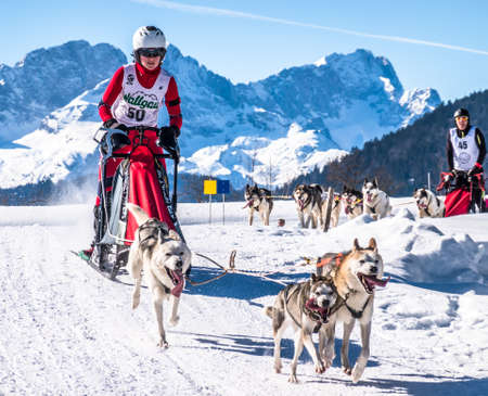 Wallgau - Germany, February 17: Participant of a dog sled race in front of the european alps on February 17, 2019 in Wallgau Editorial
