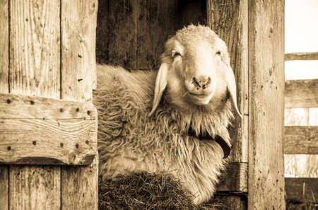 cute sheep at a stable