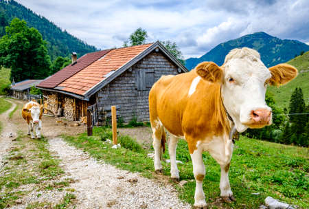 nice cow in front of farmhouse - bavaria