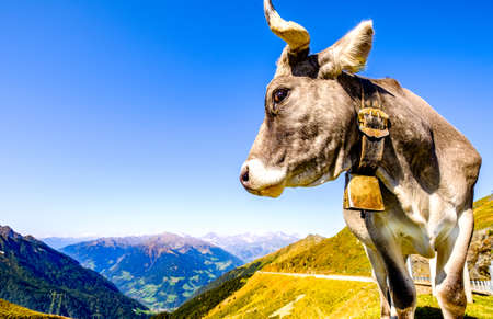 funny cow at the european alps - jaufenpass Stockfoto