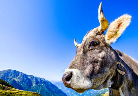 funny cow at the european alps - jaufenpass Reklamní fotografie