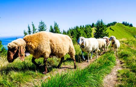 cute sheep at the alps Reklamní fotografie - 130814105