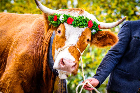 decorated cow for a festive alp returning - photo