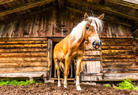 haflinger horse at a stable