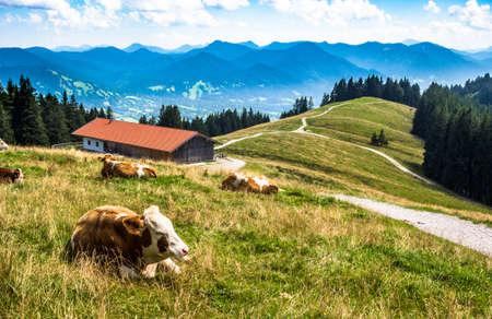 funny cow at the european alps - bavaria