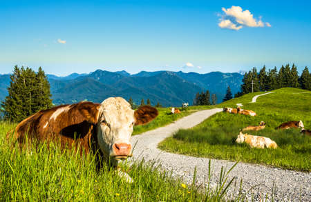 nice cow at the blomberg mountain - bavaria