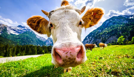 nice cows at the eng alm in austria