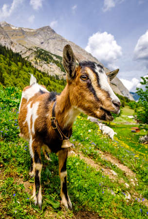 nice goat at the european alps - austria