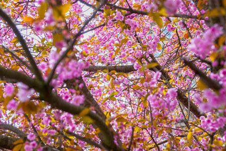 view through: View through cherry blossom branches Stock Photo