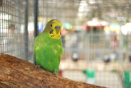 periquito: Perico verde en la jaula Foto de archivo