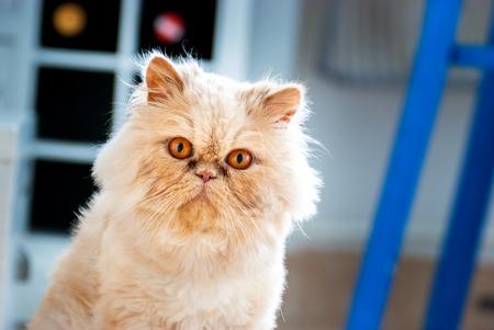 glance: Persian Cat Glance Stock Photo