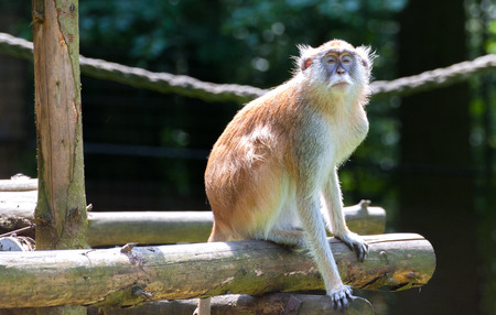 hussar: Patas Monkey in the Zoo, Erythrocebus patas