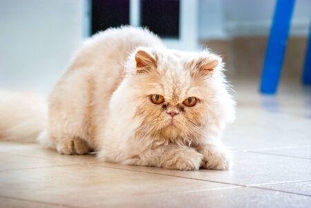 persian cat: Persian Cat Lying on the Floor